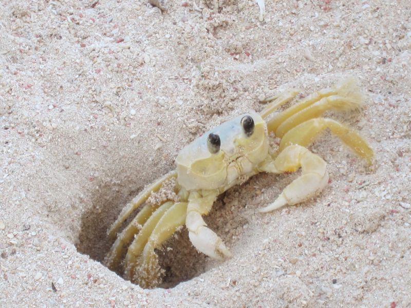 Sand crab having fun under my beach chair