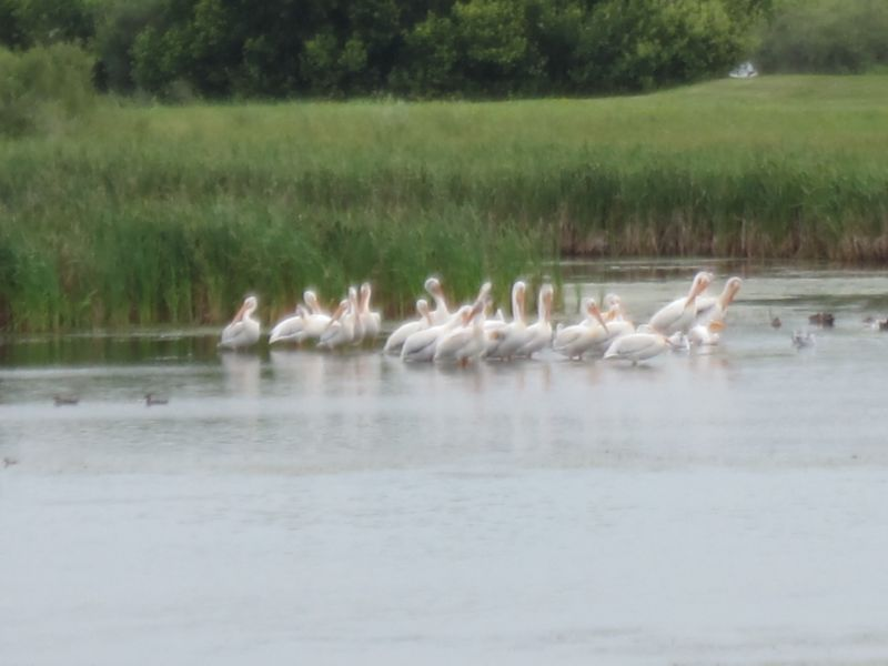 Pelicans on Blackstrap Lake